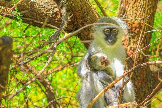 Vervet Monkey in Addo Elephant National Park Tours