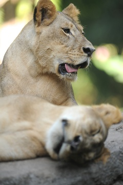 Lions in Addo Elephant National Park Day Tours Port Elizabeth