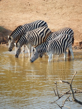 Zebra drinking Addo Elephant National Park Day Tours Port Elizabeth