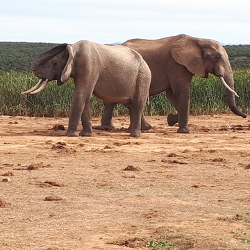 Elephant in Addo Elephant National Park Day Tours Port Elizabeth