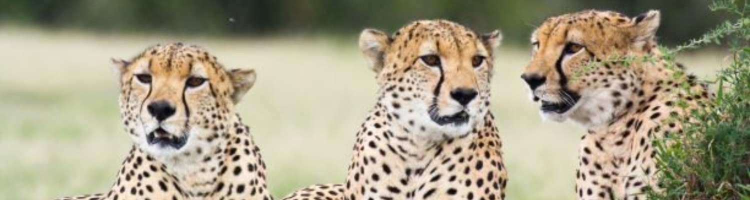 Private game reserve in Port Elizabeth South Africa Cheetah tours tame cheetah interactions Day visits to Kragga Kamma game park Guided tours and game drives in Kragga Kamma. African wildlife fastest wild cat Cheetah,  game drive in Cheetah enclosure