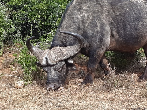Cape Buffalo in Addo Elephant National Park Day Tours Port Elizabeth