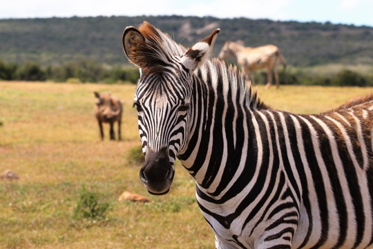 Zebra in Addo Elephant National Park Day Tours Port Elizabeth