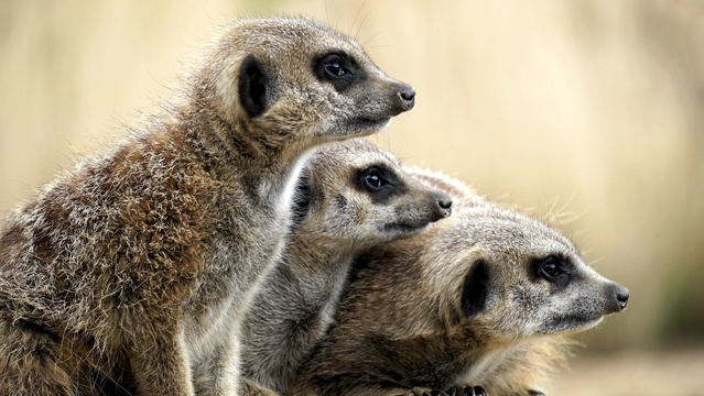 Meerkat in Addo Elephant National Park Day Tours Port Elizabeth