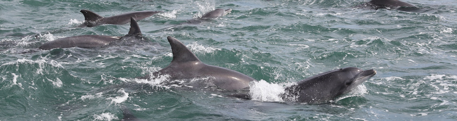 Bottel nose dolphins on a cruise to nearby islands in Port Elizabeth. Big 7