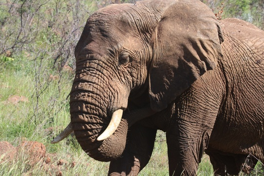 Elephant in Addo Elephant National Park Tours